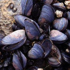 Mussels with White Balsamic Vinegar